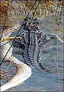 Alligator_v_python