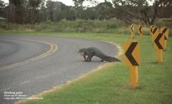 Courtesy_uf_strolling_gator